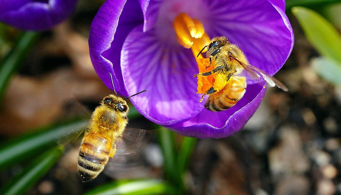 Abejas pecoreando una flor. Selectmiel