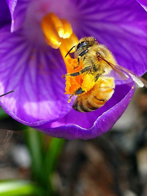Abeja extrayendo polen y miel para Selectmiel