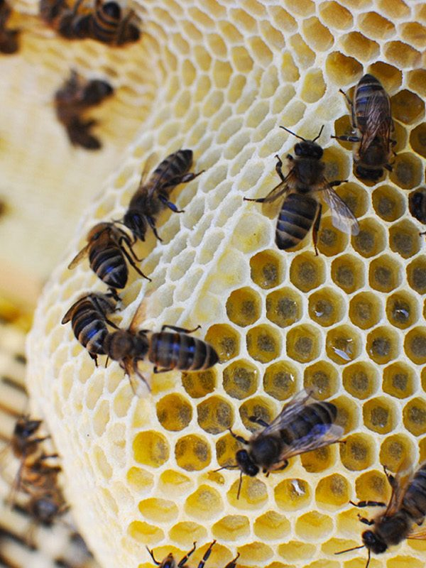 Abejas introduciendo miel para Selectmiel.