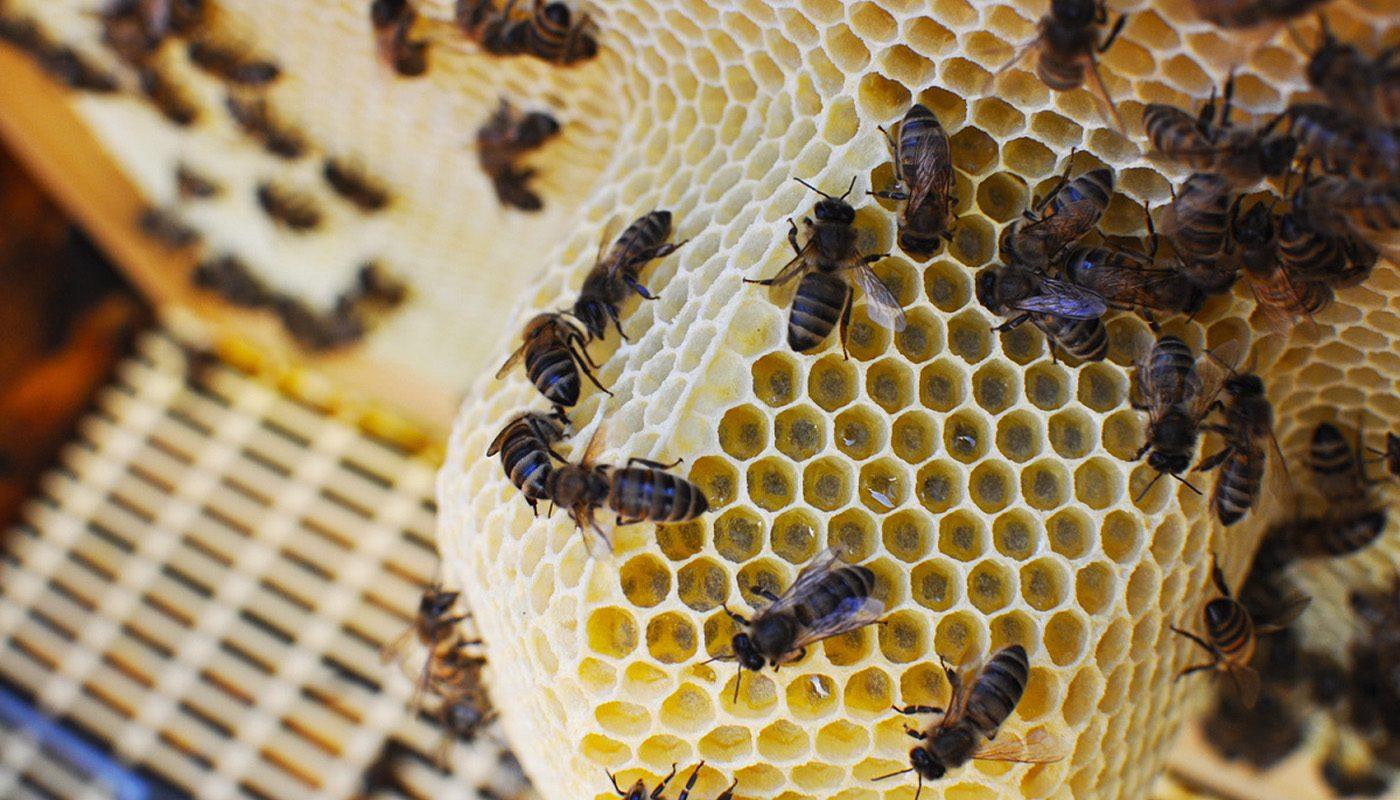 abejas-introduciendo-miel-selectmiel